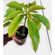 Tips in Growing Avocado