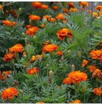 Seeds - Marigold Indian