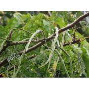 Moringa - the Humble Superfood