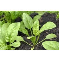 Seeds - Spinach