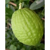 Citron (Hirali Kayi)