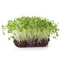 Micro Greens - Broccoli (Live Plant)