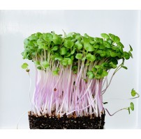 Micro Greens - Pink Raddish  (Live Plant)